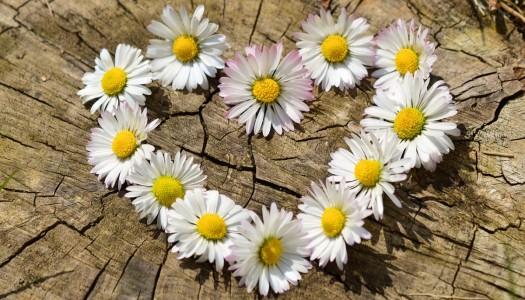 Kamilica – blagotvorna i spolja i iznutra