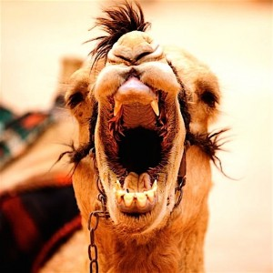 Jednogrba kamila