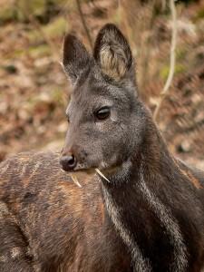 Kašmirski mošusni jelen